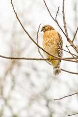 84/365 (slapshots) Tags: bird nikon hawk kentucky anchorage f28 teleconverter wildlifephotography project365 17x nikkor70200 tc17 d7000 nikond7000