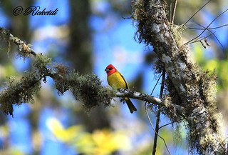 Tangara érythrocéphale -Red-headed Tanager