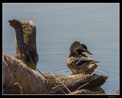Mr. and Mrs. Mallard - No. 1 (Nikon66) Tags: illinois nikon mallard nikkor madisoncounty d800 400mm horeshoelake copyright horeshoelakestatepark