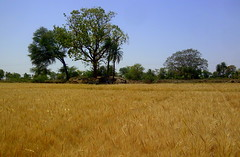 Wheat field (fhkpic) Tags: india nature landscape nokia village wheat crop agriculture tonk rabi rajasthan