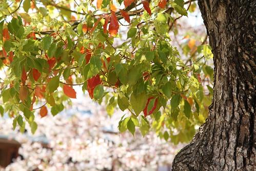 桜を背に大クスノキ
