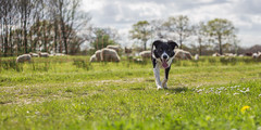20140409-IMG_0916 (Bas Bloemsaat) Tags: sheep sheepdog bordercollie schapen schapenhond