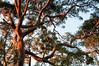Sydney red gum (NinianLif) Tags: kuringaichasenp terreyhills tree eucalypt angophora kuringgaichasenationalpark warringahcouncil beapiercephotography northernbeaches kuringgai
