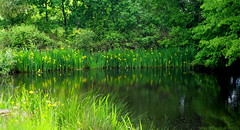 Summer will return. (pstone646) Tags: pond water reflections trees green iris flowers yellow nature flora kent