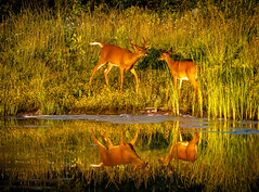 """Loving Reflections""  White-tailed Deer (Cathy Lorraine) Tags: whitetaileddeer rochester newyork reflections nature deer love affection playful sunrays5"
