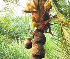 পাখির রস চুরি (ferdoush007) Tags: beautiful bangladesh natural beauty bd nice secene গ্রাম বাংলা বাংলার সৌন্দর্য আমার বাংলাদেশ wow capture photo palm tree juice bird bangladeshi বাংলাদেশী পাখি রস চুরি