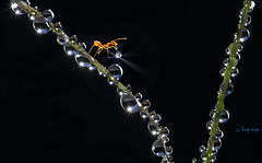 Happy morning (bug eye :) Thailand) Tags: animals wildlife ant redant water morning drop droplets sun lovely nature natural green tree macro closeup canon