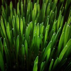 Вот такая красота на подоконнике нашей бабушки #фотографвладбаринов #трава #зелень
