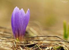 Crocco (ape maya77) Tags: macro crocco crocus fiore flower viola montagna mountain primavera spring panasonoc fz200 lumix