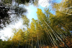Bamboo Avenue (Eye of Brice Retailleau) Tags: colourful colours composition earth nature outdoor paysage perspective scenery scenic travel view vista extérieur tree flora trees landscape forest wood forêt arbre bois bamboo bamboos asia china anhui anji mukeng green bright wideangle lookingup