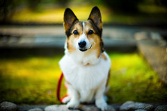 April 5 (moaan) Tags: itami hyogo japan jp dog welshcorgi pochiko oneyearafter memory memento bokeh dof utata 2017 leica m9 leicam9 noctilux 50mm f10 leicanoctilux50mmf10