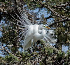 Great Egret  Explore 4-7-2017 (b88harris) Tags: great egret white breeding plumage green lore yellow bird tree wildlife nature exposure nikon nikkor lens sunlight sunshine migration