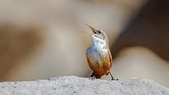 Canyon Wren (Bob Gunderson) Tags: birds california canyonwren catherpesmexicanes coyotelakecountypark northerncalifornia santaclaracounty southbay wrens depthoffield