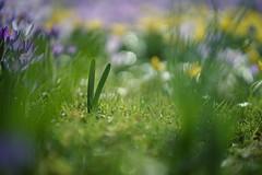 PEACE (christian mu) Tags: flowers peace bokeh germany münster muenster botanicalgarden nature botanischergarten