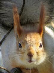 Russian Red Tree Squirrel (Vitaly Giragosov) Tags: russianredtreesquirrel sciurusvulgarisexalbidus sevastopol crimea canon sx50hs белкателеутка севастополь крым