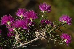 Melaleuca leuropoma, Kings Park, Perth, WA, 30/12/16 (Russell Cumming) Tags: plant melaleuca melaleucaleuropoma myrtaceae kingspark perth westernaustralia