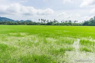 Campos arroz