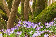 IMG_88 (schaffnerjoggl) Tags: frühling blüten bunt farben hermannshof schausichtungsgarten weinheim deutschland krokus