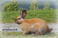 Hase - Rabbit (Körnchen59) Tags: ostern easter hase rabbit körnchen59 elke körner sony
