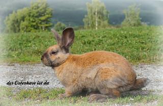 Hase - Rabbit