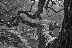 2017-02-18 - Tordu (aaoouumm) Tags: tordu arbre nature nb bw branche