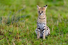 Serval Cat (Vinaya Mohan) Tags: serval cat wild animal masai mara masaimara kenya