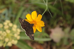 IMG_9354 (rarobbins3365) Tags: funereal duskywing butterfly