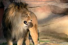 Afrikaanse leeuw - Panthera leo leo - African Lion (MrTDiddy) Tags: afrikaanse leeuw panthera leo african lion male mannelijk feline zoogdier mammal yawn geeuw bigcat big cat grotekat grote kat nestor zooantwerpen zoo antwerpen antwerp