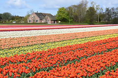 Veldzicht flower farm, Noordwijk, April 17, 2017 (cklx) Tags: spring holland 2017 bollenstreek tulips tulpen colorful noordwijk