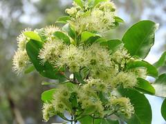 Xanthostemon oppositifolius 2 (barryaceae) Tags: booderee national park jervis bay nsw australia arfps australian rainforest plant