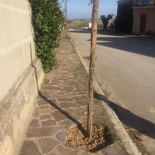 Abbiamo ripiantato circa 30 piante di Ibisco a Via Dante Alighieri a Tollo.