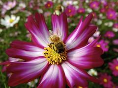 Hard worker  (FujiFilm X10) (potopoto53age) Tags: hard worker hardworker bee cosmosflowers cosmos flower plant insect macro closeup fujifilmx10 fujifilm x10 fujinonsuperebc21mm~112mmf20~f28 fujinon superebc 21mm~112mm f20~f28 appleaperture apple aperture potopoto53age