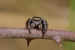 Supposée Evarcha sp., mâle (Montgaillard) (G. Pottier) Tags: evarcha salticidae jumpingspider saltique araignéesauteuse araignée spider