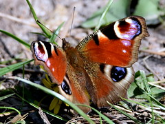 Wings of beauty. (pstone646) Tags: butterfly peacock nature animal closeup insect fauna sunshine kent wildlife