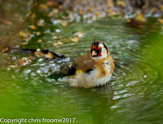goldfinch bathing in a ditch
