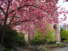 P4220150 (starimmak) Tags: uw cherry blossum johnson hall