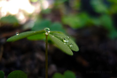 (MacroMarcie) Tags: leica hcs clichesaturday nature drops refraction macro