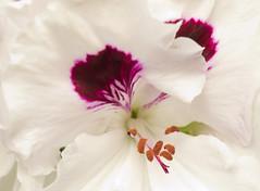 Pelargonium (albireo 2006) Tags: pelargonium geranium flowers stamens pollen sigma105mm flower