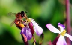Honey from radishes (TJ Gehling) Tags: insect hymenoptera bee apidae honeybee apis plant flower brassicales brassicaceae radish wildradish raphanus raphanusraphanistrum ohlonegreenway elcerrito