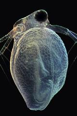 Ceriodaphnia (mr.sansibar) Tags: plankton zooplankton cladocera crustacea focusstacking olympusbh2 photomicrography microscopy heliconfocus polarizedlight waterflea