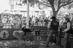2017 Houston Rodeo Mutton Busting (burnt dirt) Tags: houston texas houstonrodeo 2017 houstonlivestockshowandrodeo sheep mutton muttonbusting muttonbuster girl boy age5 age6 helmet vest cowboyhat dirt fall arena crowd group spectator fence holdon cry laugh happy sad mom dad jump run fast fujifilm xt1 streetphotography bw blackandwhite cowboyboots
