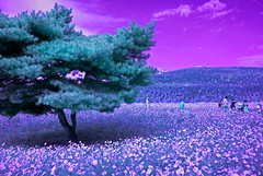 Autumn Infrared Scene In Hitachi Seaside Park (aeschylus18917) Tags: danielruyle aeschylus18917 danruyle druyle ダニエルルール japan 日本 infrared ir surreal 赤外線 ibaraki 茨城県 hitachi 日立市 hitachiseasidepark 国営ひたち海浜公園 autumn fall 秋 2485mm flowers tree scenery park cosmos pxt