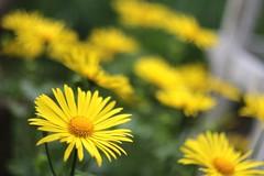 yellow flowers on pancolar, f/1.8 (Prestonbot) Tags: pancolar50mmf18 carlzeissjena niftyfifty primelens vintagelens flowers yellow bokeh smooth blurry depthoffield sharp glass