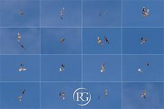 """""""Le combat implacable"""". Gypaète barbu et Aigle Royal - Haute-Savoie, France. (Raphaël Grinevald • Photographe) Tags: raphaelgrinevald rhônealpes rapace nikon nature wildlife wild alpes aigle royal gypaète gypaetus barbatus bartgeier barbu lammergeier lpo asters altore montagne mont mountains ciel vautour bearded vulture oiseau bird eagle france contemporary 150600 d800 sigma"""