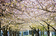 Canopy of Blossoms (Orbmiser) Tags: cherryblossoms willametteriver 55200vr blossoms d90 flower nikon oregon portland spring trees waterfront