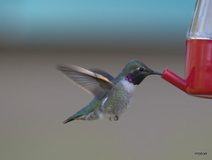 Black-chinned Hummingbird, Richmond BC (miketabak) Tags: