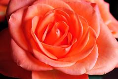 DSC_6590 Rose (PeaTJay) Tags: nikond300s sigma reading lowerearley berkshire macro micro closeups gardens indoors nature flora fauna plants flowers bouquet rose roses rosebuds