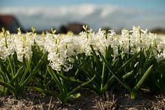 Dutch Spring (romanboed) Tags: leica m 240 summilux 50 europe netherlands holland dutch flower fields flowers field farm agriculture agribusiness spring jaro holandske kvetiny jarni white hyacinths bokeh sunny