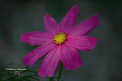 Fleur, cosmos ( photopade (Nikonist)) Tags: fleurs flowers imac couleurs nikond70 nikon mac nature cosmos