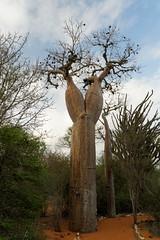 DSC07546_DxO_Bildgröße ändern (Jan Dunzweiler) Tags: madagaskar africanbikers reniale renialareserve jandunzweiler baobab affenbrotbaum